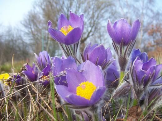 Первоцветы - вестники весны!
